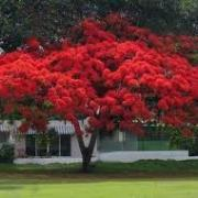 Red tree in bloom